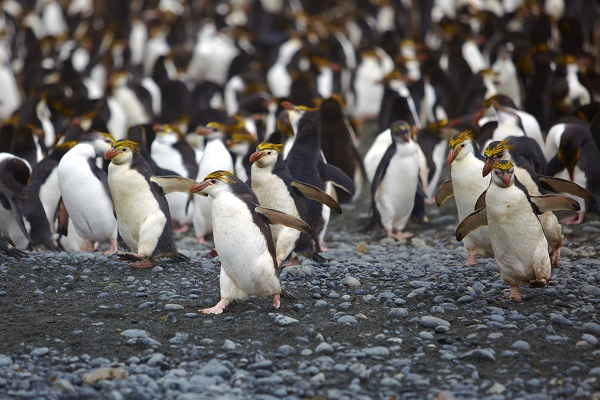 ロイヤルペンギン