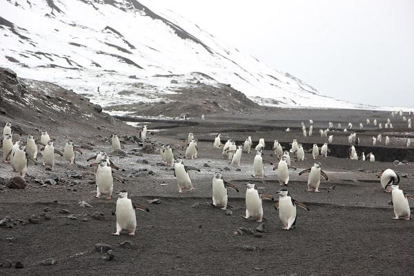ヒゲペンギン/デセプション島ベイリーヘッド/南極クルーズ