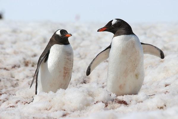 ゼンツーペンギン/南極クルーズ