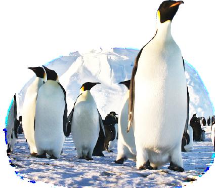 コウテイペンギンの画像 p1_28