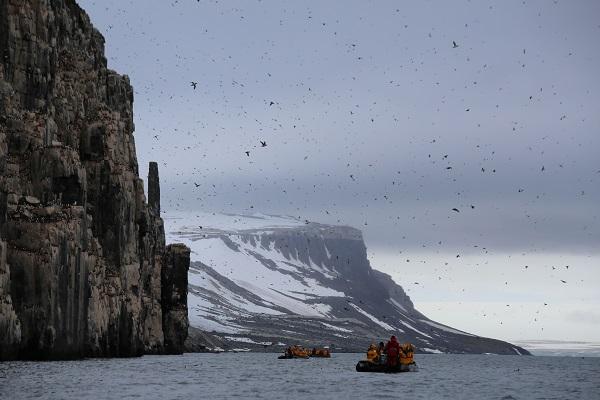 北極スピッツベルゲンクルーズのアルケフィエッレでのヒメウミスズメ