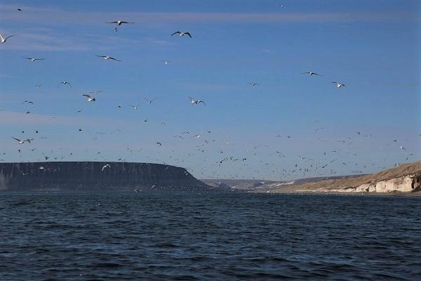 カナダ北極クルーズのプリンスレオポルドの海鳥