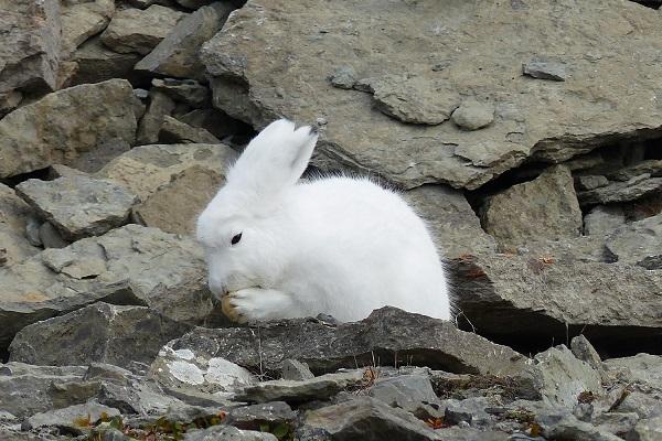 カナダ北極圏のホッキョクウサギ