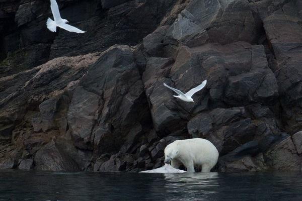 カナダ北極圏のホッキョクグマ