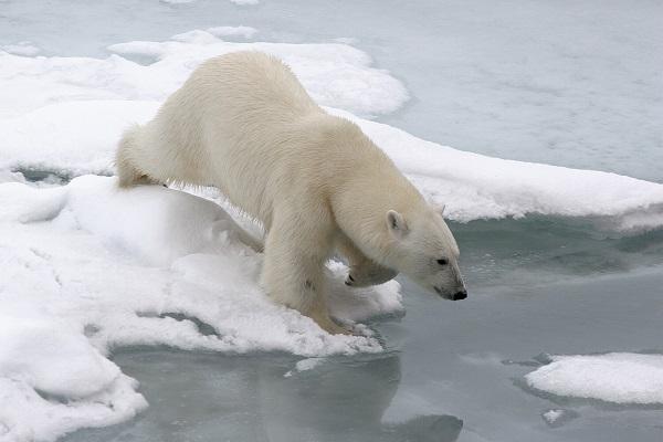 北極クルーズで出会うホッキョクグマ