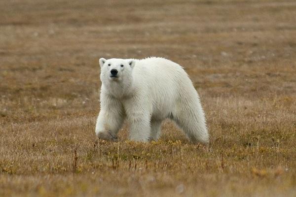 ロシア北極地域のホッキョクグマ