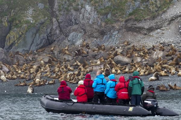 ロシア北極地域のアザラシの群れ