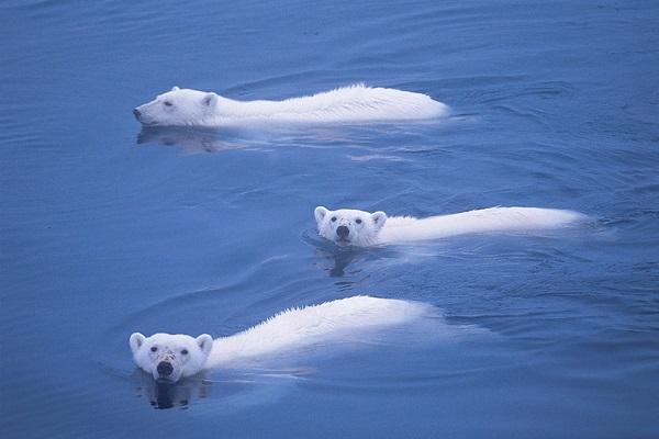 ホッキョクグマの遊泳
