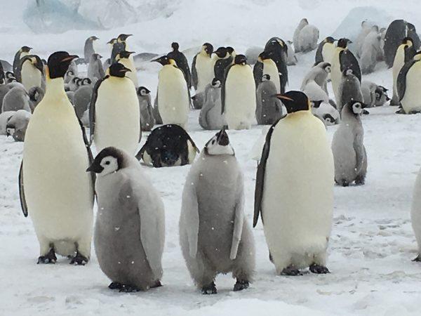 行って良かった。充実の旅:コウテイペンギン出会う南極クルーズ【お客様体験談】