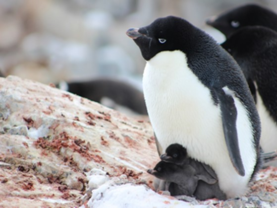 【スタッフレポート】アデリーペンギンの繁殖
