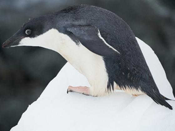 【スタッフレポート】アデリーペンギンの繁殖期後半に見られた変化
